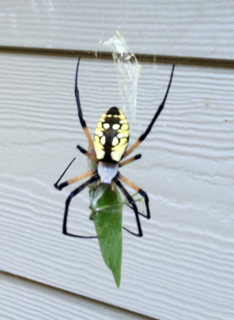 Greta the Garden Spider.jpg