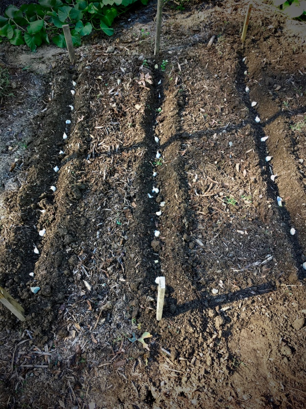Fall garlic planting